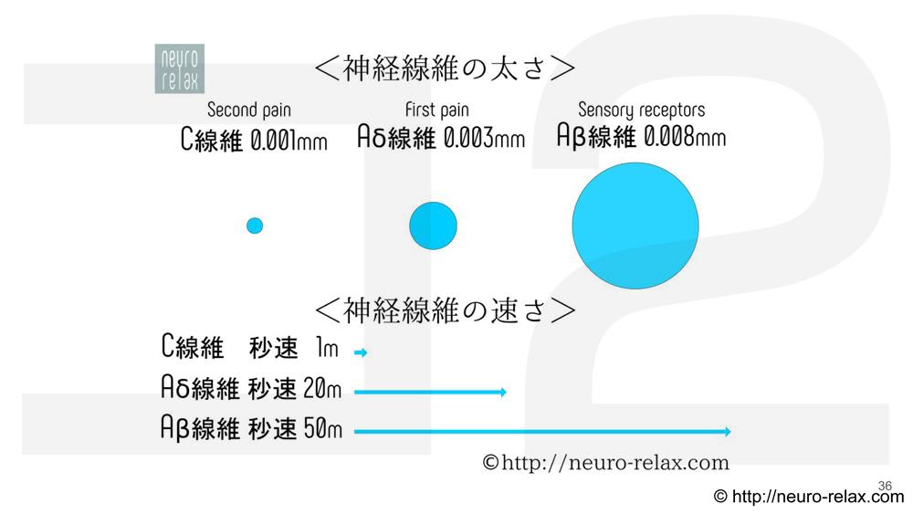 スライド6&7:皮膚感覚・感覚受容器、神経繊維の太さ